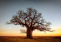 A boab tree at sunset in Derby Western Australia by photographer Mieke Boynton