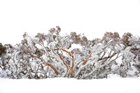 Photograph of snow-covered Snowgums in Winter by Mieke Boynton